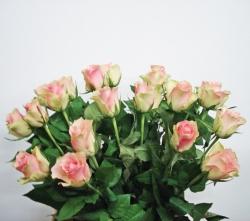 Roos 'Belle rose'