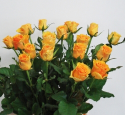 Roos 'Sphinx gold'