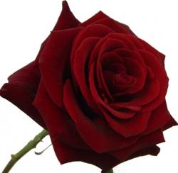Rozen bestellen, Rozen kopen, Rozen bezorgen, Bos rozen, Losse rozen.